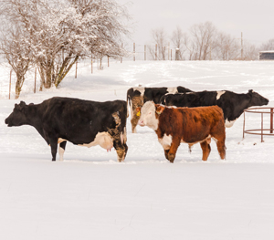 Cold Weather Cow Care