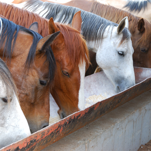 Number and Type of Meals Impact Horse Health