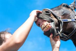 horse teeth