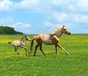 horsefoal