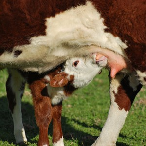 Nutrients Are Essential Heading Into The Spring Calving Season