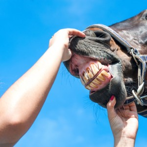 Tooth Problems in Older Horses