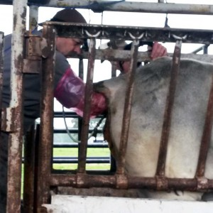 Pregnancy testing options for beef cattle producers