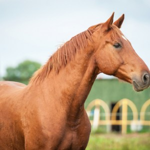 Stallion Diets Important for Body Condition, Fertility